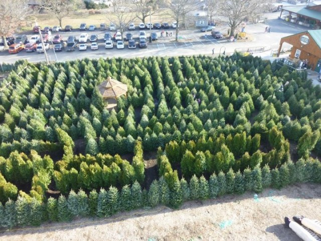 Tree Maze At Linvilla Orchards Turns Christmas Waste Into Wonderland
