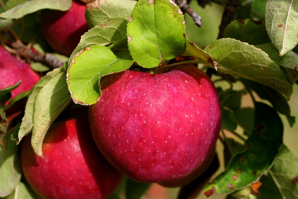 Chester County Orchards Report Ample Harvest for Season