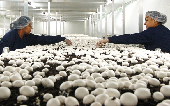 Mushroom Farmers Aren't the Only Ones with Immigration Fears