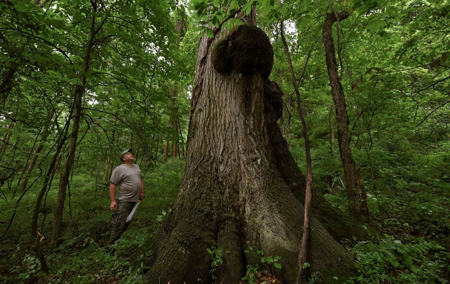 Despite Recent Discovery Near Pittsburgh, Delco Still Home to State's Largest Red Oak Tree