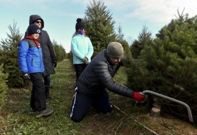 Could Christmas Trees Be Tainted by Spotted Lanternfly Eggs?