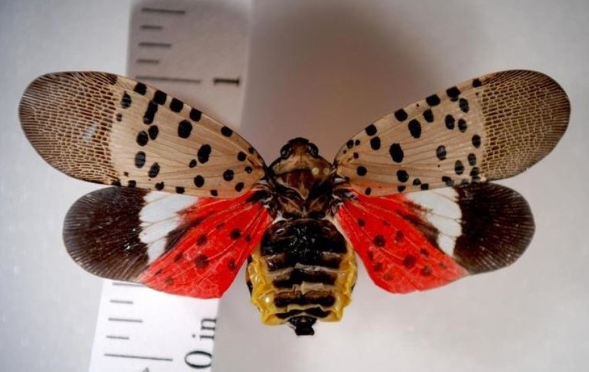 Chances Are Lanternflies Won't Be in Your Home for the Holidays