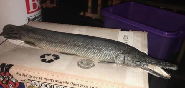 Alligator Gar Fish Don't Belong Here, but a Wayne Resident Found One in a Local Pond