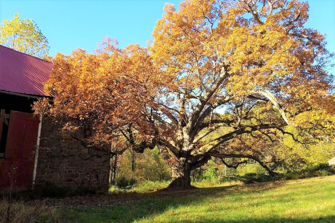 Permanent Protection for North Coventry Farm That's Home to 400-Year-Old Oak Tree