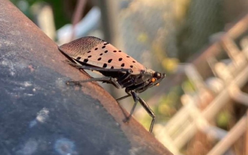 Lawmakers Looking to Secure $16 Million from USDA to Help Local Farmers Combat Spotted Lanternfly