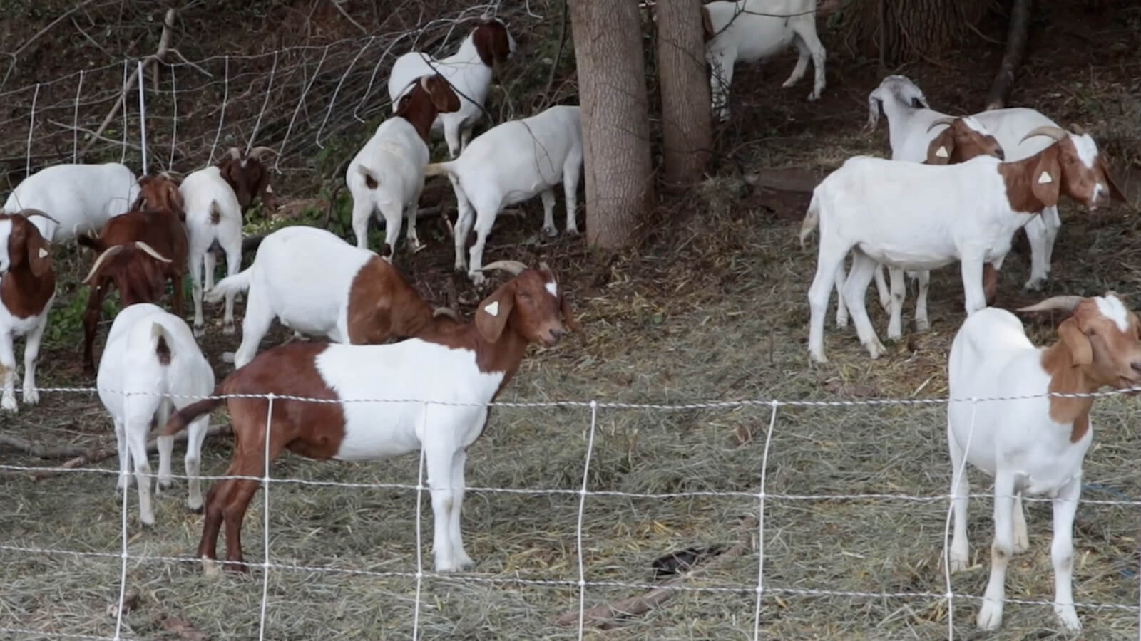 Goats on a Hill: Concordville Firm Solves Delco Neighborhood's Plant Problem