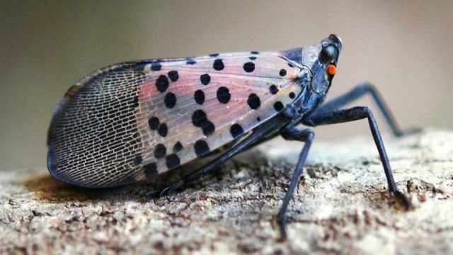 Natural Predators Might Lead to Demise of Spotted Lanternfly