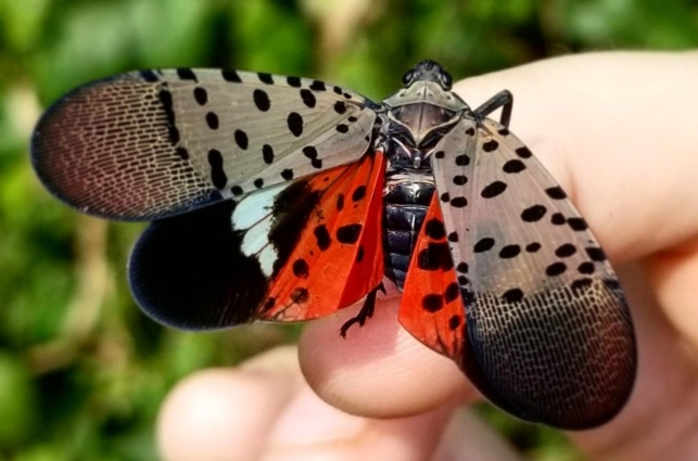 Deeper Look into Penn State Research on Natural Predators of Spotted Lanternfly