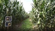 Lytle's Farm corn maze