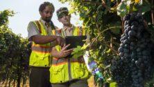 men inspecting grapes