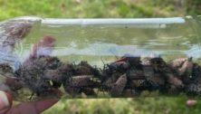 lanternfly remediation